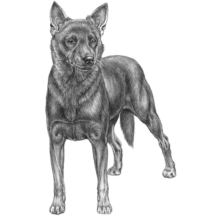 Australian Cattle Dogs: Dog breed info, photos, common