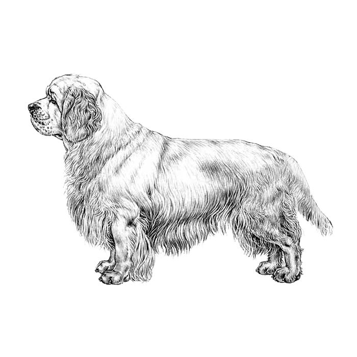 Clumber Spaniels Dog Breed Info Photos Common Names And More Embarkvet
