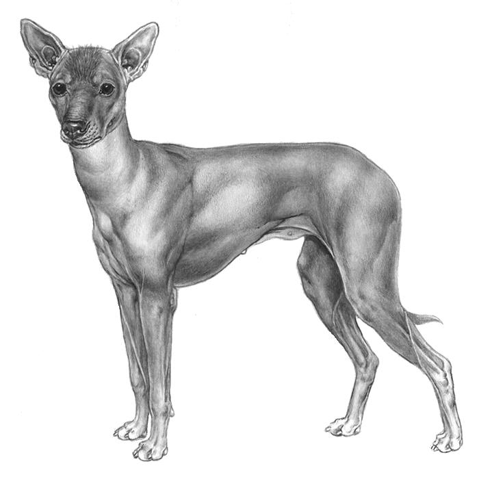 Image: A Peruvian Hairless Dog - Pet Paw